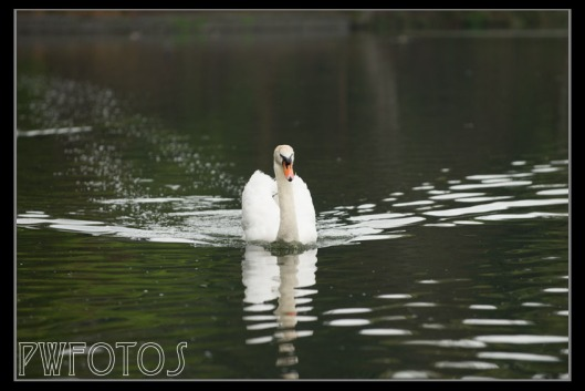 A very traditional image of a white swan