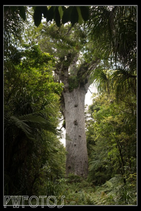 "This is ""Matua Te Ngahere"" of ""Father of the Forest"". It is the oldest living thing in New Zealand estimated to be 3,000 years old."