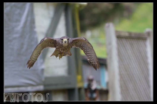 The falcon flew mainly from a perch on the building to the handler. Its flight went within inches of us each time.
