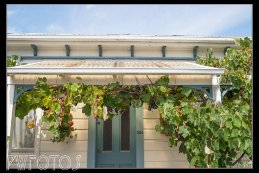 In the middle of the shops is an old villa used as professional offices. The grapevine over the porch is probably a century old and has a very fine crop this year